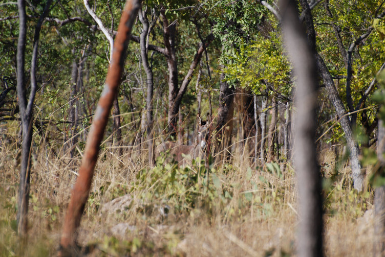wilde esel in australien