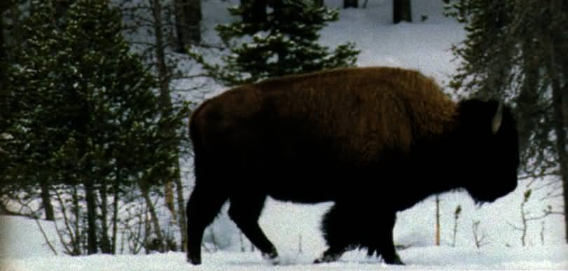 Bison im Winter