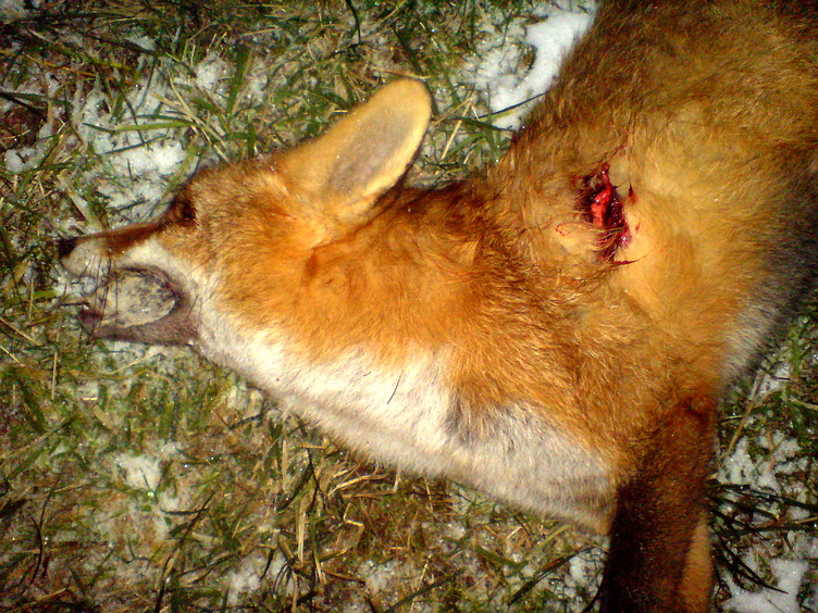 Jagd Entfernungsmesser Rätsel : Fuchsjagd jüngjägers erster fuchs
