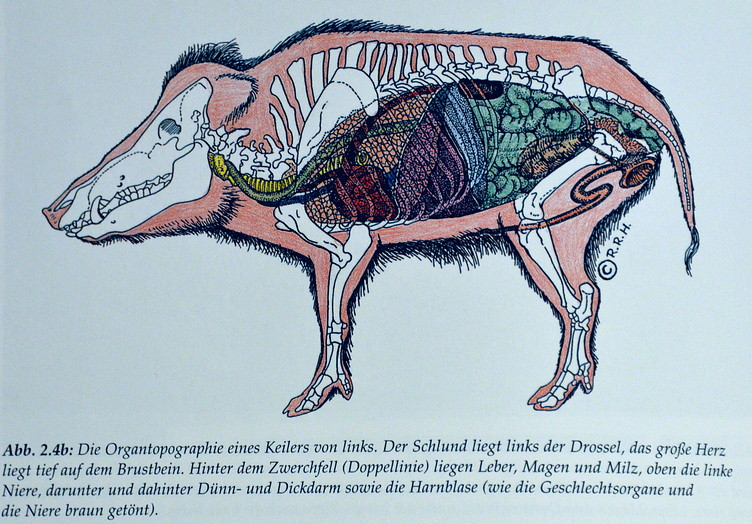 Sau, Wildschwein, Sus scrofa und andere Schweine